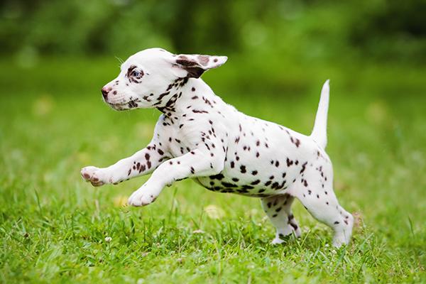 Dalmatian puppy running outside: Pet Wellness Care in Waynesboro