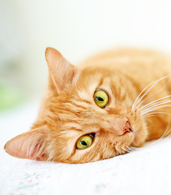 Orange cat lying on a sofa: Pet Allergies in Waynesboro