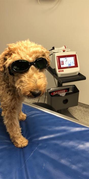 Dog wearing goggles: Pet Rehabilitation in Waynesboro